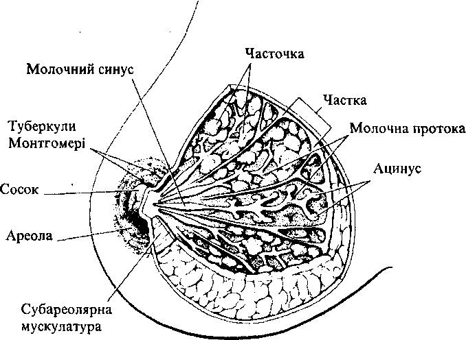 Будова молочної залози (схема)