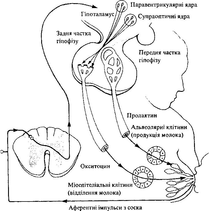 Нейроендокринна регуляція лактації