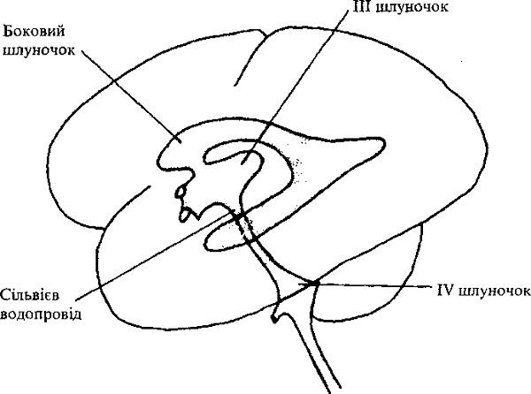 Схема шлуночків головного мозку дитини