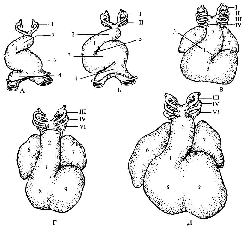 Утворення серцевої петлі та розділення серця на відділи у зародка людини