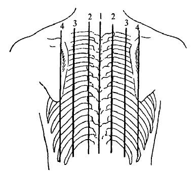 Топографічні лінії на задній поверхні грудної клітки дитини