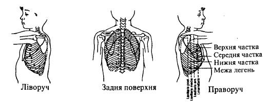 Межі легень та їх часток